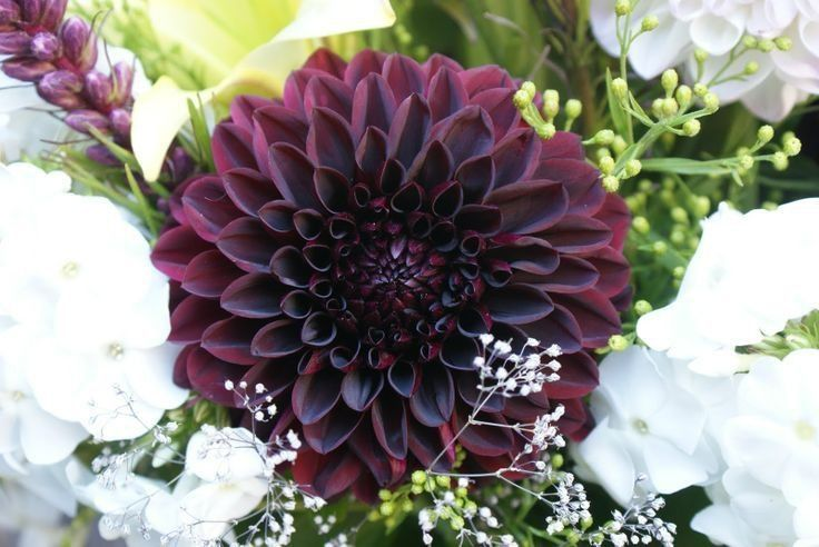 Black Dahlia Flower Meaning Dahlia Flower Fragrant Flowers Flower Seeds