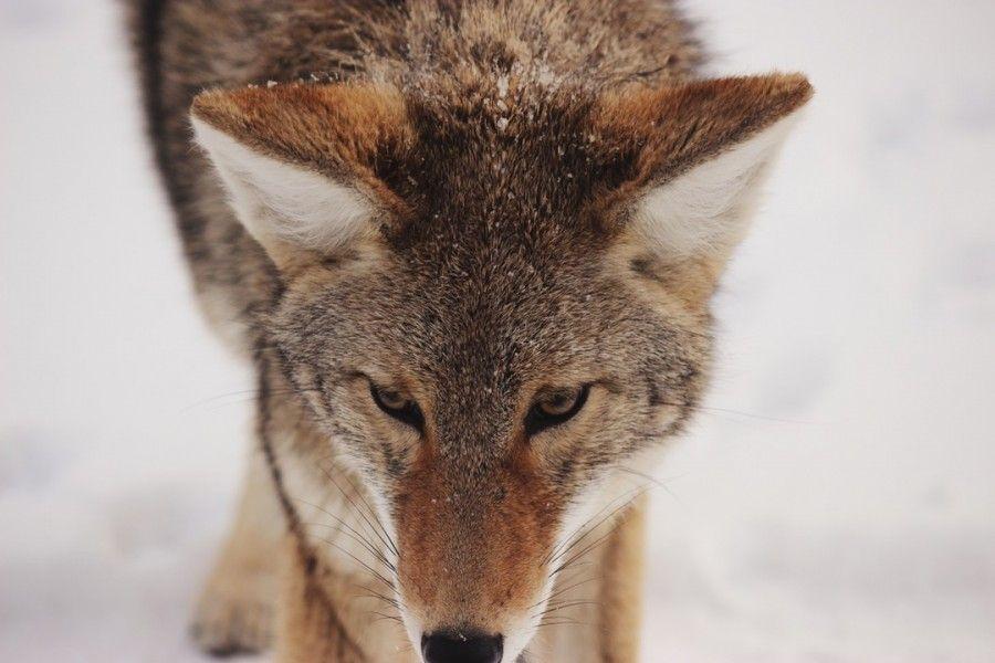 lobo, animal, nieve, invierno, pelo, canido, primer plano, pelaje, frio,
