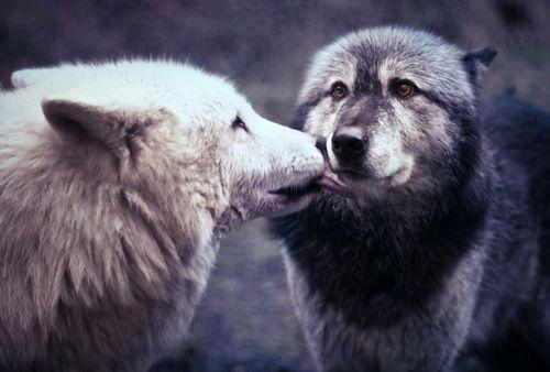 wolf kissies <3 so cute