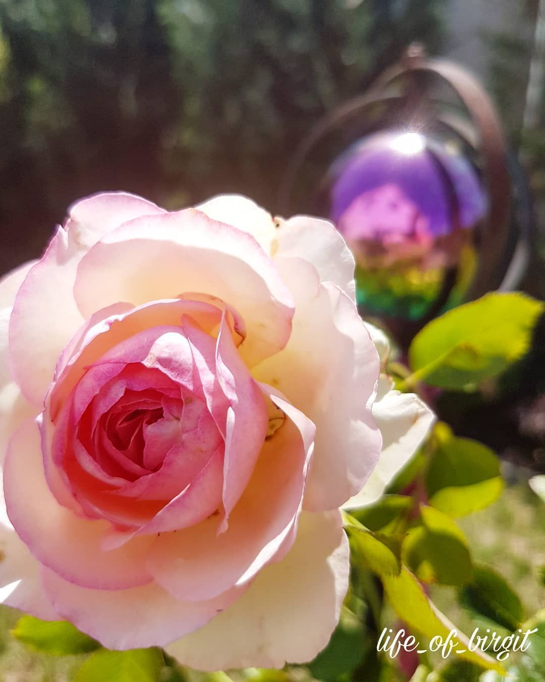 Photo of Again and again, individual roses bloom. Nevertheless, notice …