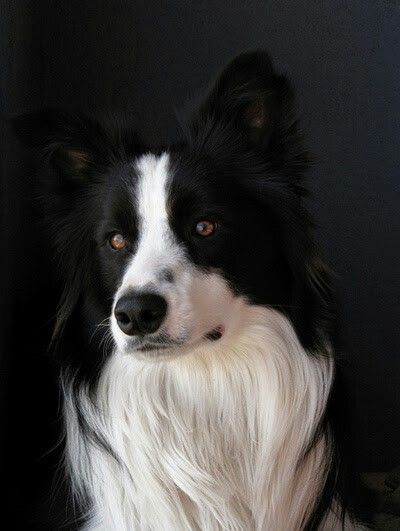 Exquisite Border Collie Most Beautiful Dogs Beautiful Dogs Collie Dog
