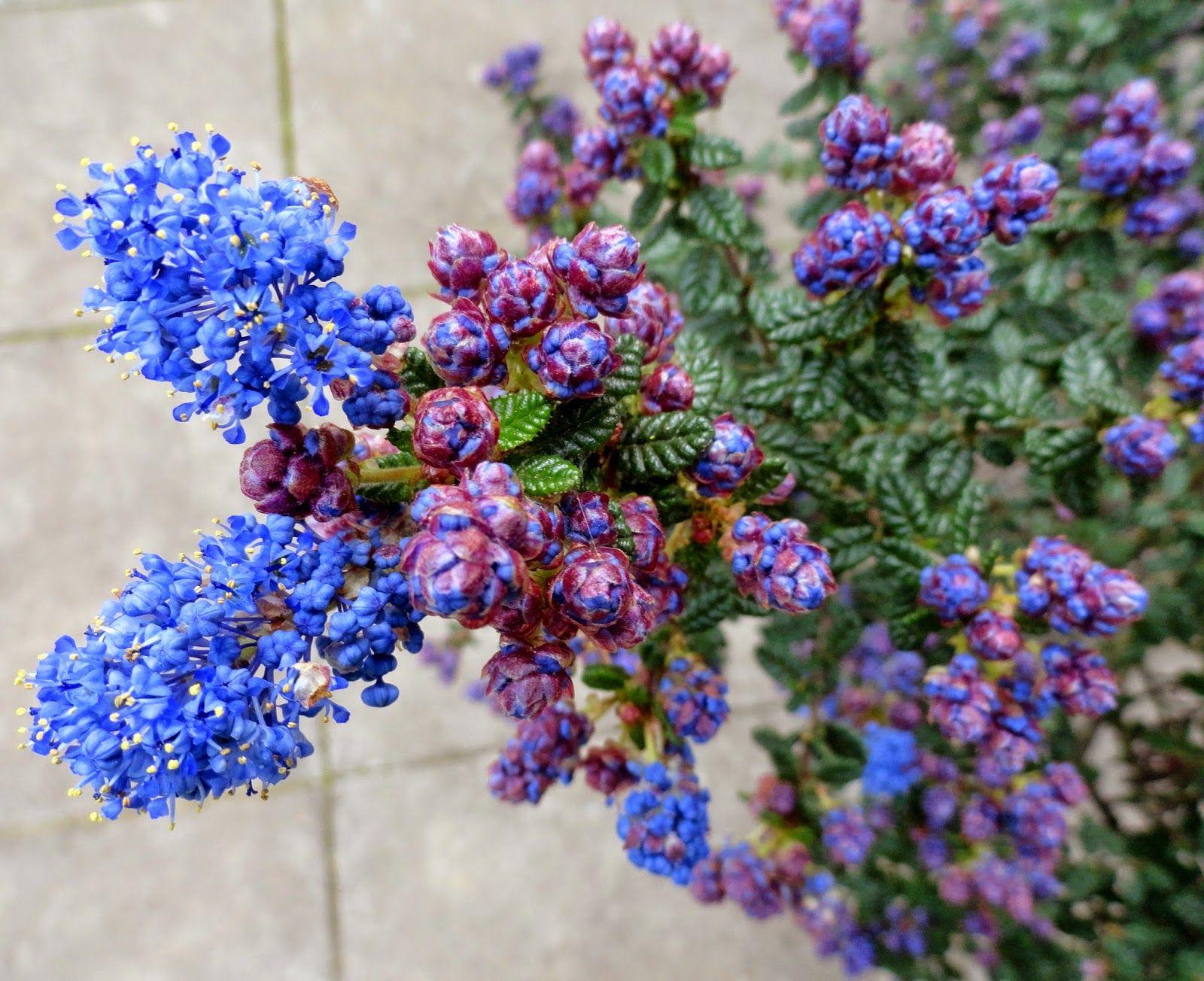 Ceanothus 'Dark Star', fragrant, intense deep blue flower