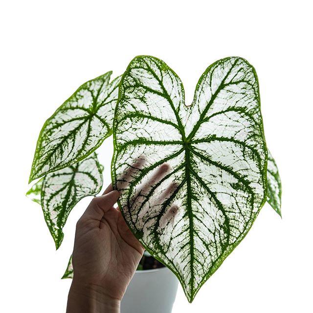 caladium white christmas Easy house plants, Variegated