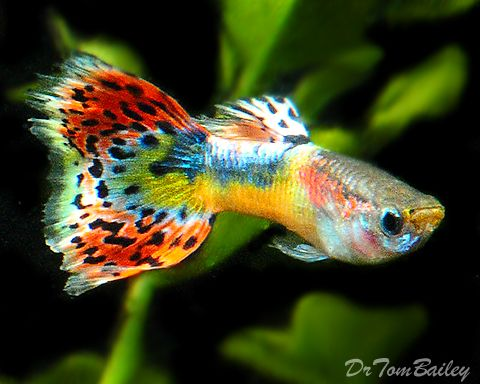 Types Of Guppies Guppy Breeding Species Guppy Tank Fancy Guppy And All About Guppies Fact Guppy Fish Tropical Freshwater Fish Freshwater Aquarium Fish
