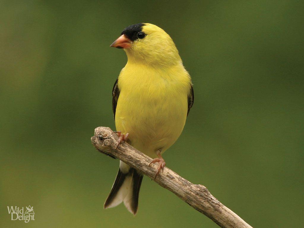 American Goldfinch | Wild DelightWild Delight