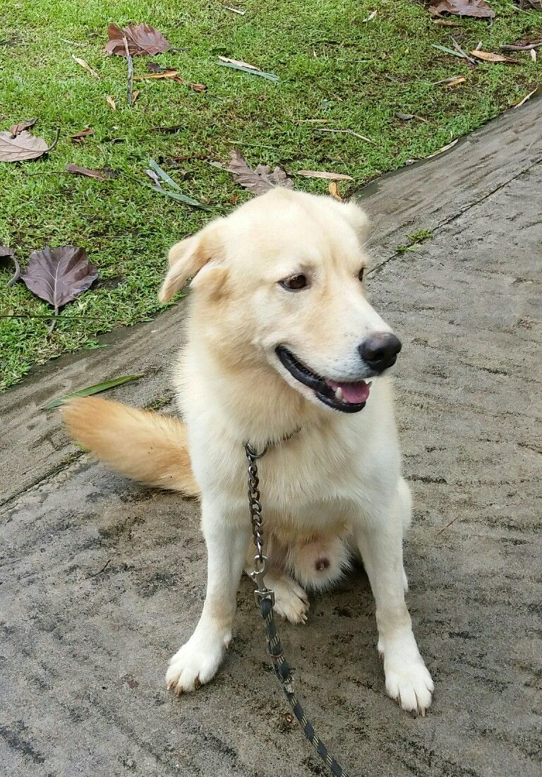 Golden Retriever And Husky Mix Breed Goberian Dogs And Friends