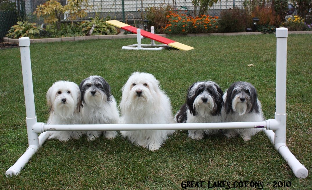 Great Lakes Cotons - About Us-Coton breeder near Chicago Illinois