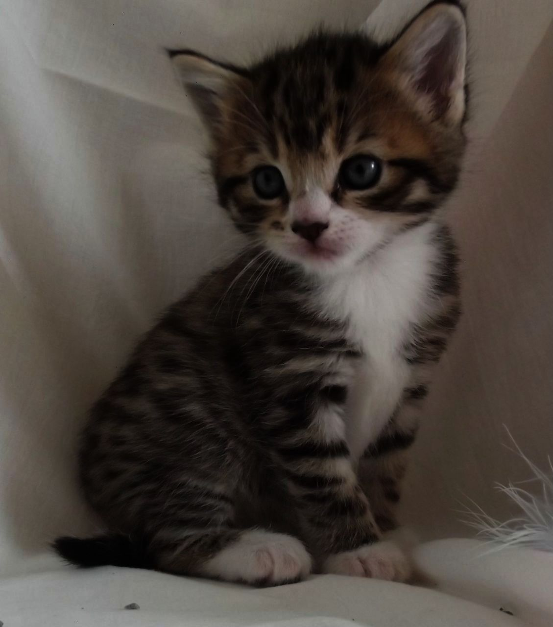 Gray Brown And White Kittens With Blue Eyes Google Search With Images Grey Tabby Kittens
