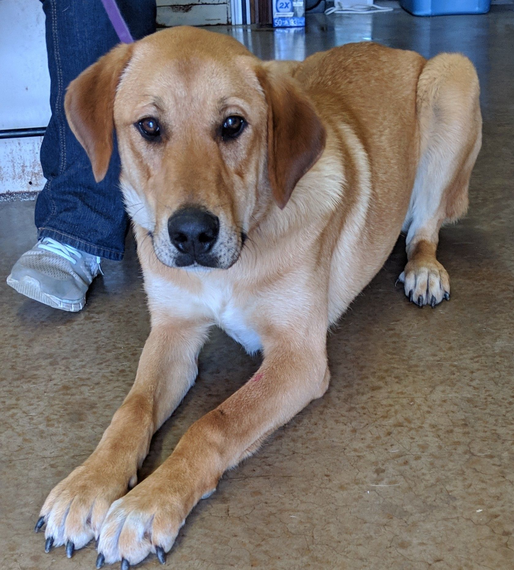 Adopt Lady Godiva On Petfinder In 2020 Lady Godiva Dog Adoption Help Homeless Pets