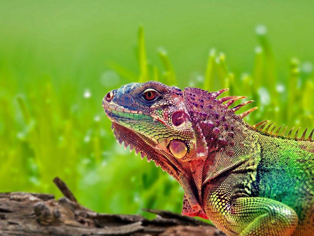 rainbow lizard chloe s place pinterest lizards rainbows and