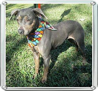 Ocala Fl Italian Greyhound