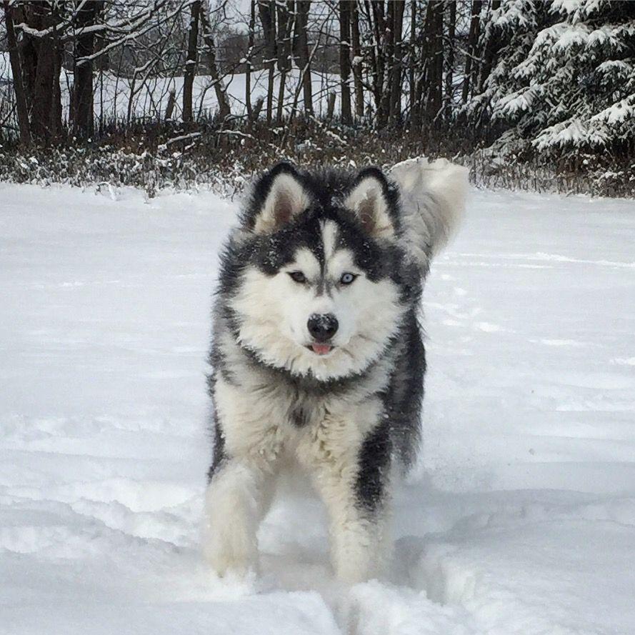 Myla Canadianmalamute On Instagram The Canadian Eskimo Dog