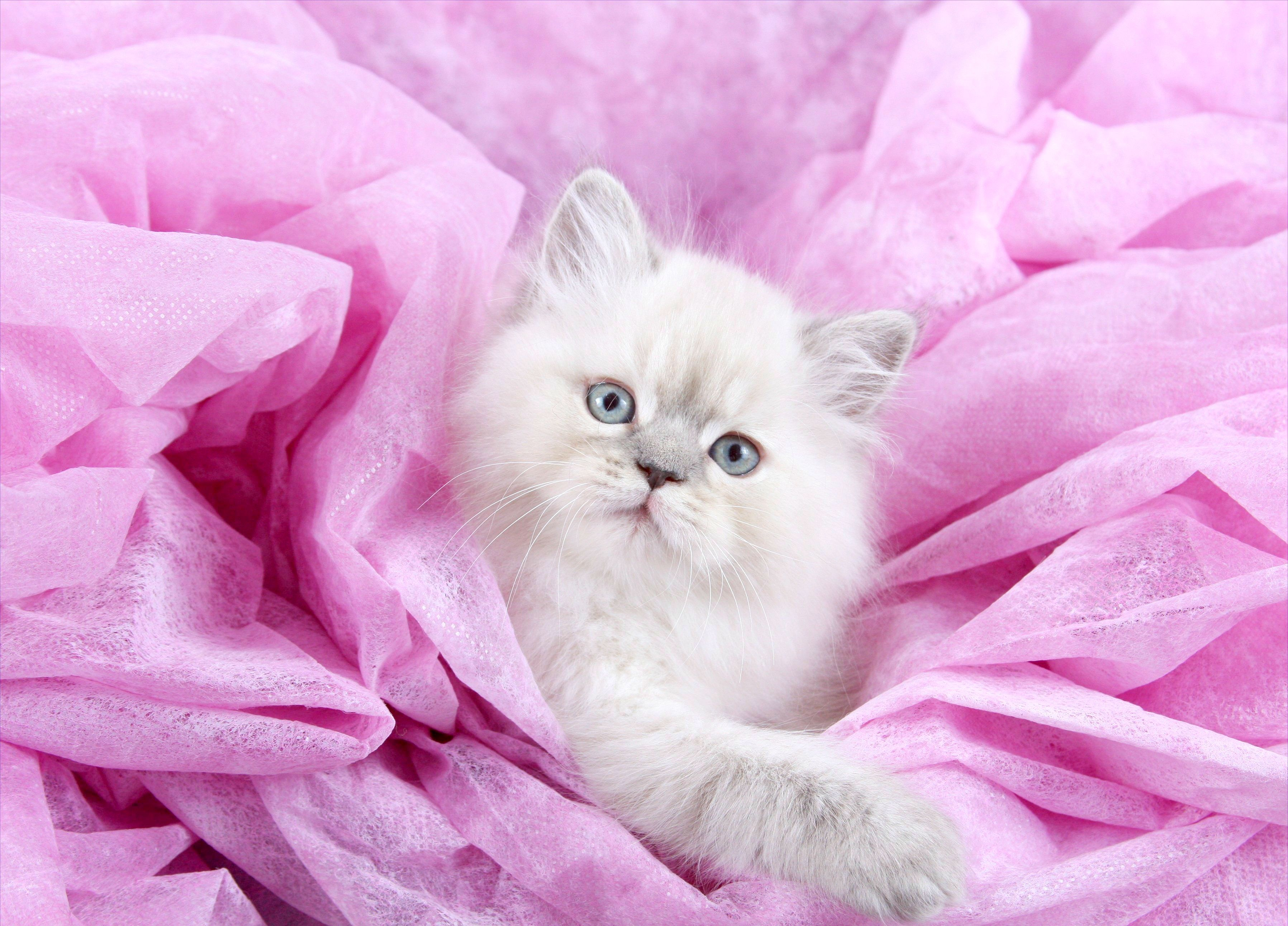 Teacup Lilac Lynx Point Himalayan kitten for sale in