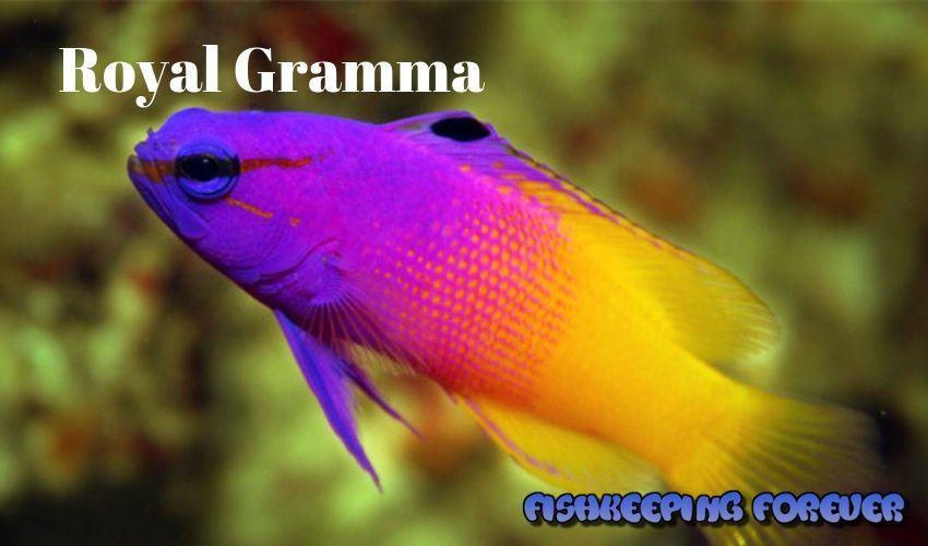 royal gramma saltwater fish marine fish invertebrates corals marine