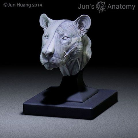 Lion Anatomy model 1/6th scale - flesh & superficial muscle ...