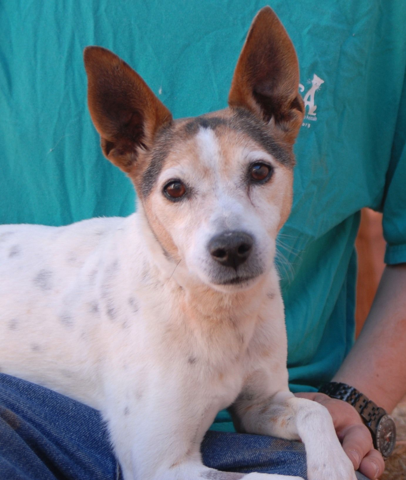 Stephen Asks For Your Consideration He Is A Jack Russell Terrier With An Exceptionally Sweet Disposition 10 Years Neutere Dog Adoption Animals Domestic Dog