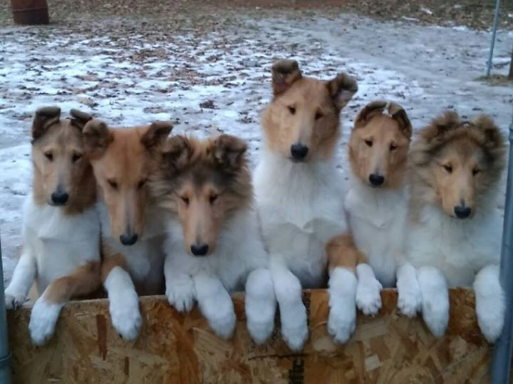 Rough Long Haired And Smooth Short Haired Collie Puppies Rough Collie Collie Puppies Collie