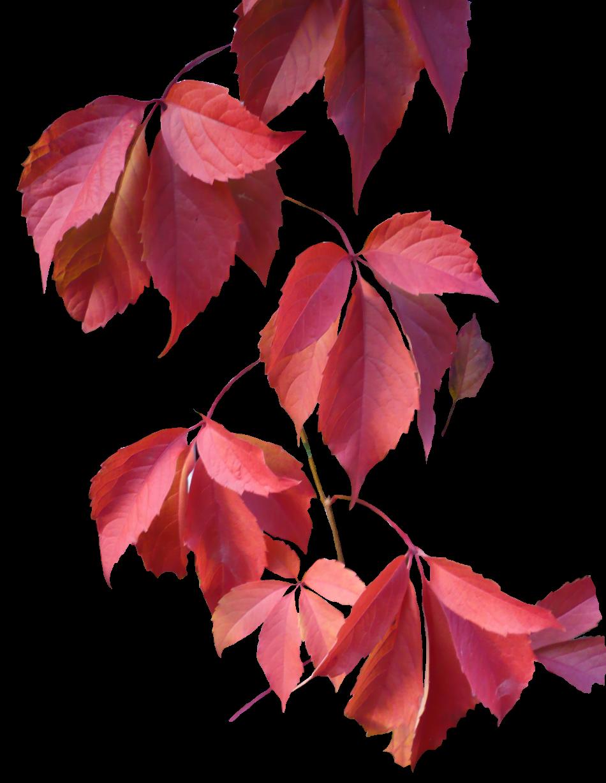 free download leaves rose transparent png image free download