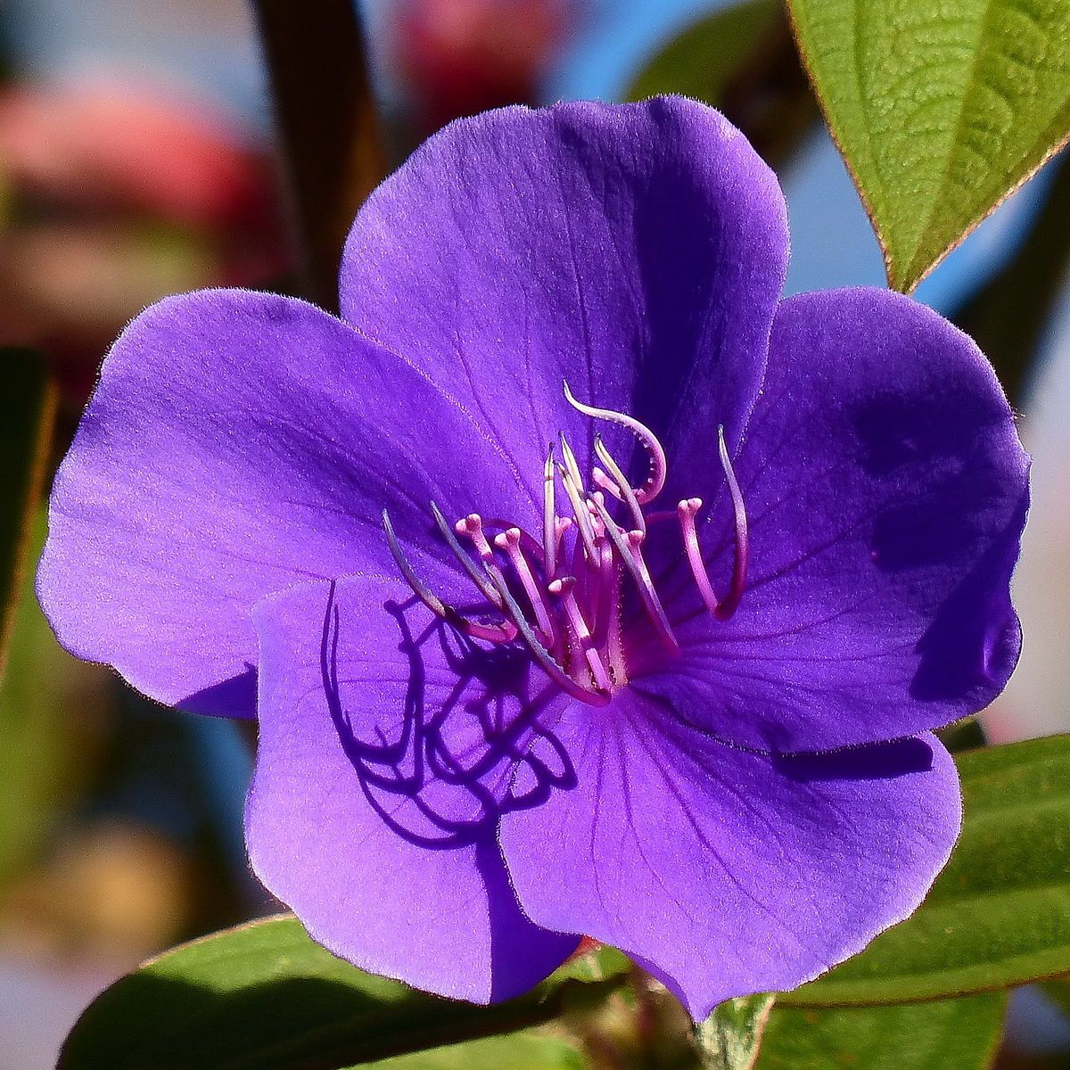 Tibouchina Urvilleana Wikipedia In 2020 Planting Flowers Plant Finder Garden Plants