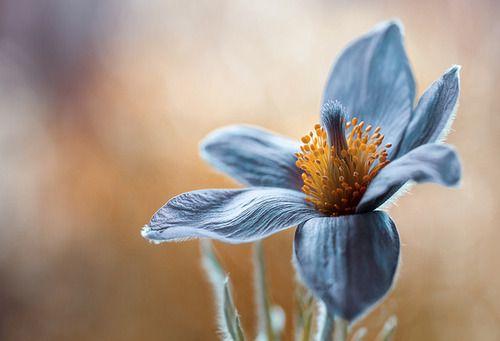 araknesharem: Flor de Pasque por Mandy Disher no Flickr.