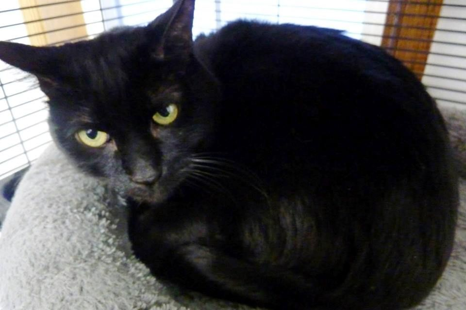 Baller Is A 10 Year Old Male Cat He Is Declawed On All Four Paws He Came Into Rescue With Angel Of Hope When His Owner Was N Mouse Toy Adoption