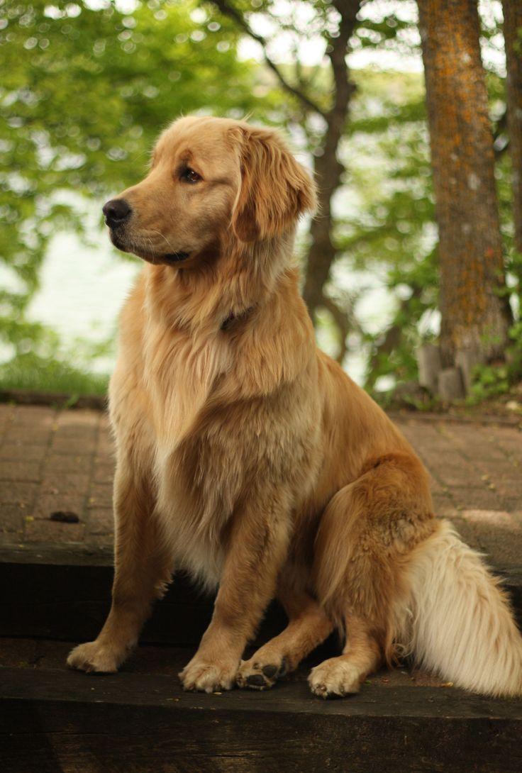 Golden Retrievers Waarom Zijn Ze De Perfecte Huisdieren In 2020 Golden Retriever Retriever Welpen Schone Hunde