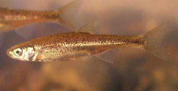 """O saramugo Anaecypris hispanica (® Carlos Carrapato) """"Saramugo - peixe dulciaquícola """"criticamente em perigo"""" das ribeiras da bacia do Guadiana. O Saramugo, uma das espécies autóctones portuguesas mais ameaçadas.""""  from http://www.icnf.pt/portal/naturaclas/gest-biodiv1/saram"""