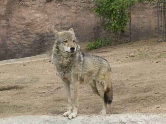 Canis lupus campestris lobo de la estepa o lobo del mar caspio del sur de kazajist n ir n - Mas l estepa agullana ...
