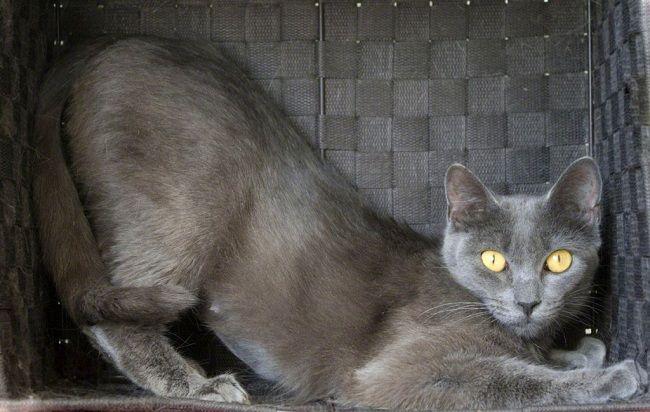 Russian Blue Burmese Cat