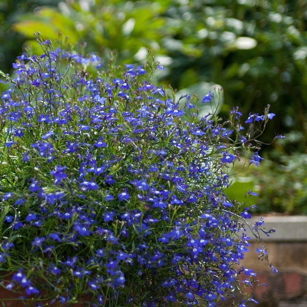 Lobelia Erinus Sapphire Trailing Front Garden And Entrance