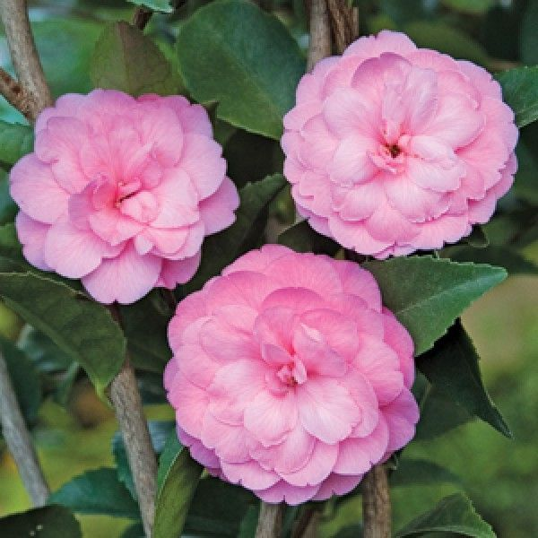 Camellia Fragrant Joy Camellia Lutchuensis Hybrid Gorgeous 2 Formal Rose Pink Blooms With A Delightful Fragranc Blooming Plants Aromatic Plant Winter Plants
