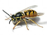 Animals That Start With Y Wasp Insects Bee