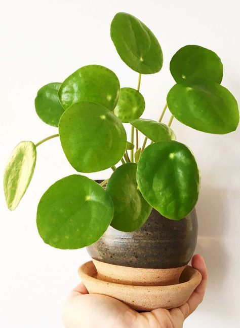 how to care for pilea peperomioides monnaie chinoise pilea p p romio des plants chinese. Black Bedroom Furniture Sets. Home Design Ideas