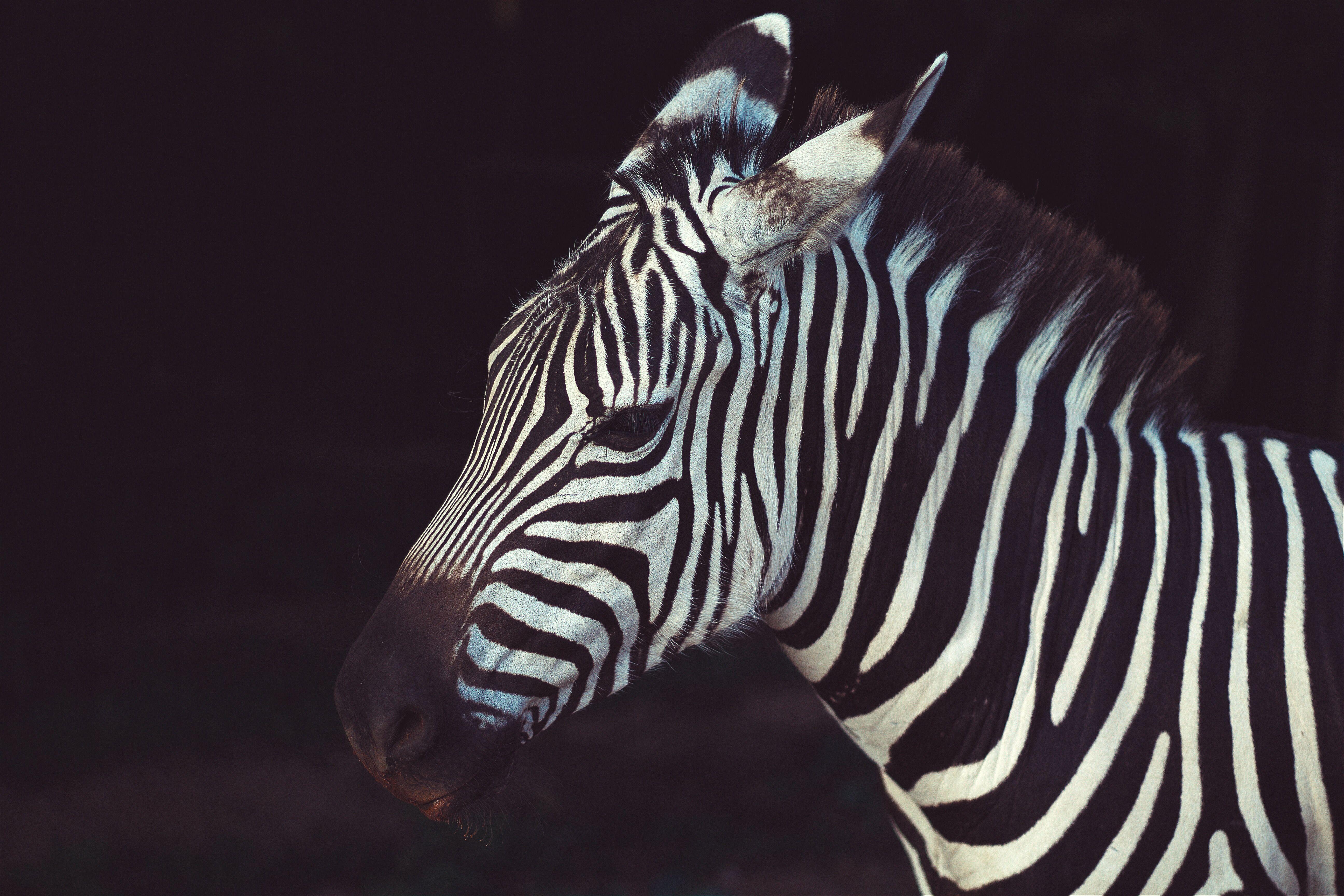 zebra #background #black #animal #infinityanimal zebra in