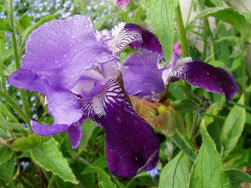 Purple Iris By Far My Favorite Flower Smells Like Spring And Home Flower Pictures Flower Garden Flowers