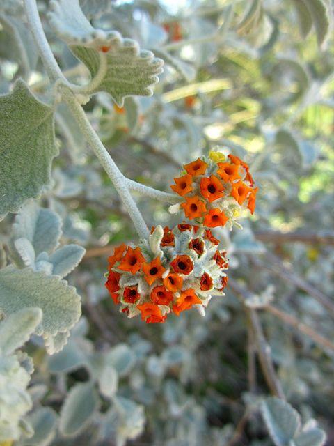 TBG - Wooly butterfly bush-Buddleja marrubiifolia | Pflanzen