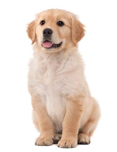 Golden Retriever Puppies For Sale In Massachusetts Golden