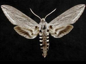 Sphinx Asellus Asella Sphinx Moth Sphinx Photographer