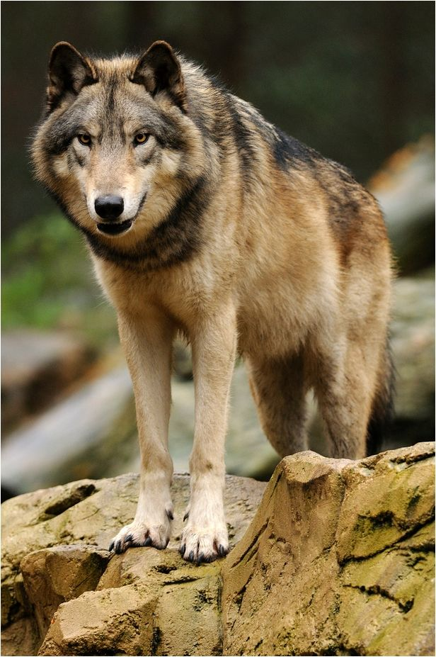 Wow --- magnificent animal  | Wild | Wolf, Wolf pictures, Beautiful
