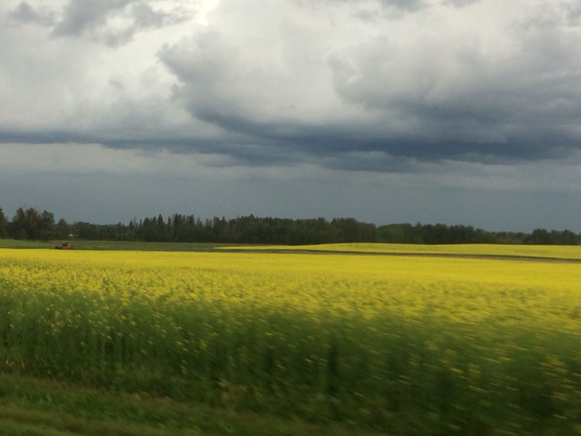 Canola field before a thunderstorm in #parklandcounty