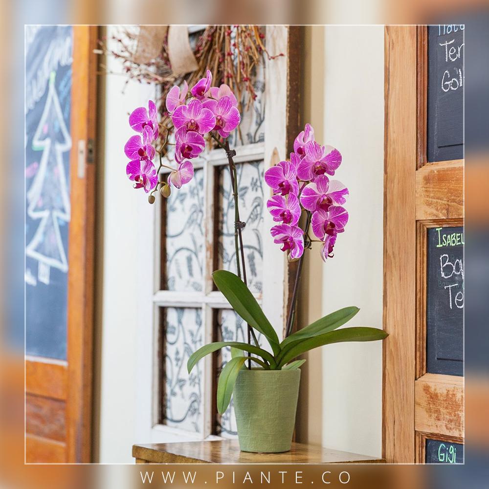 ¿Cuándo transplantar la #orquídea? - Las orquídeas necesitan pocos transplantes. Normalmente, las raíces viven bien en recipientes pequeños aunque estén un poco comprimidas. De hecho este factor puede estimular la floración. De todas formas hay 3 situaciones en las que está indicado proceder a un transplante: 1- La maceta o recipiente se ha quedado muy pequeño. 2- El substrato se ha compactado y no drena bien por lo que retiene agua. 3- La planta está infectada por hongos u otros.