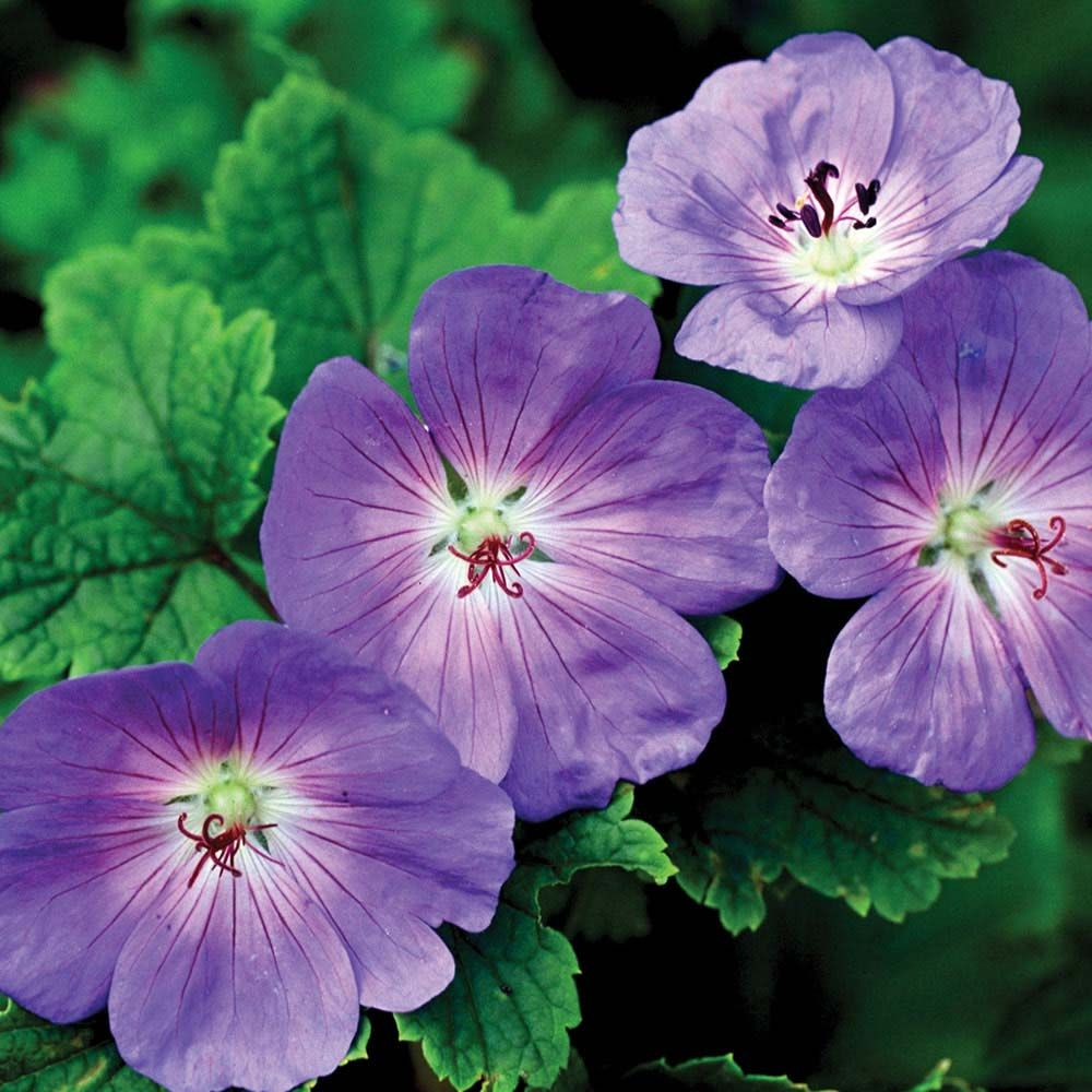 Geranium 'Hardy Rozanne' (Meadow Cranesbill) :. This is ...