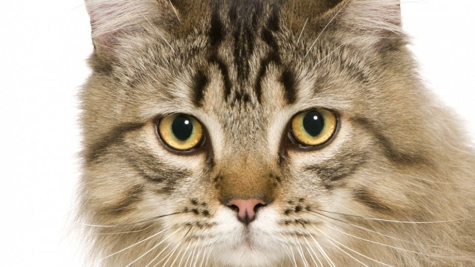 antifreeze poisoning in cats can be fatal Cats, Pets