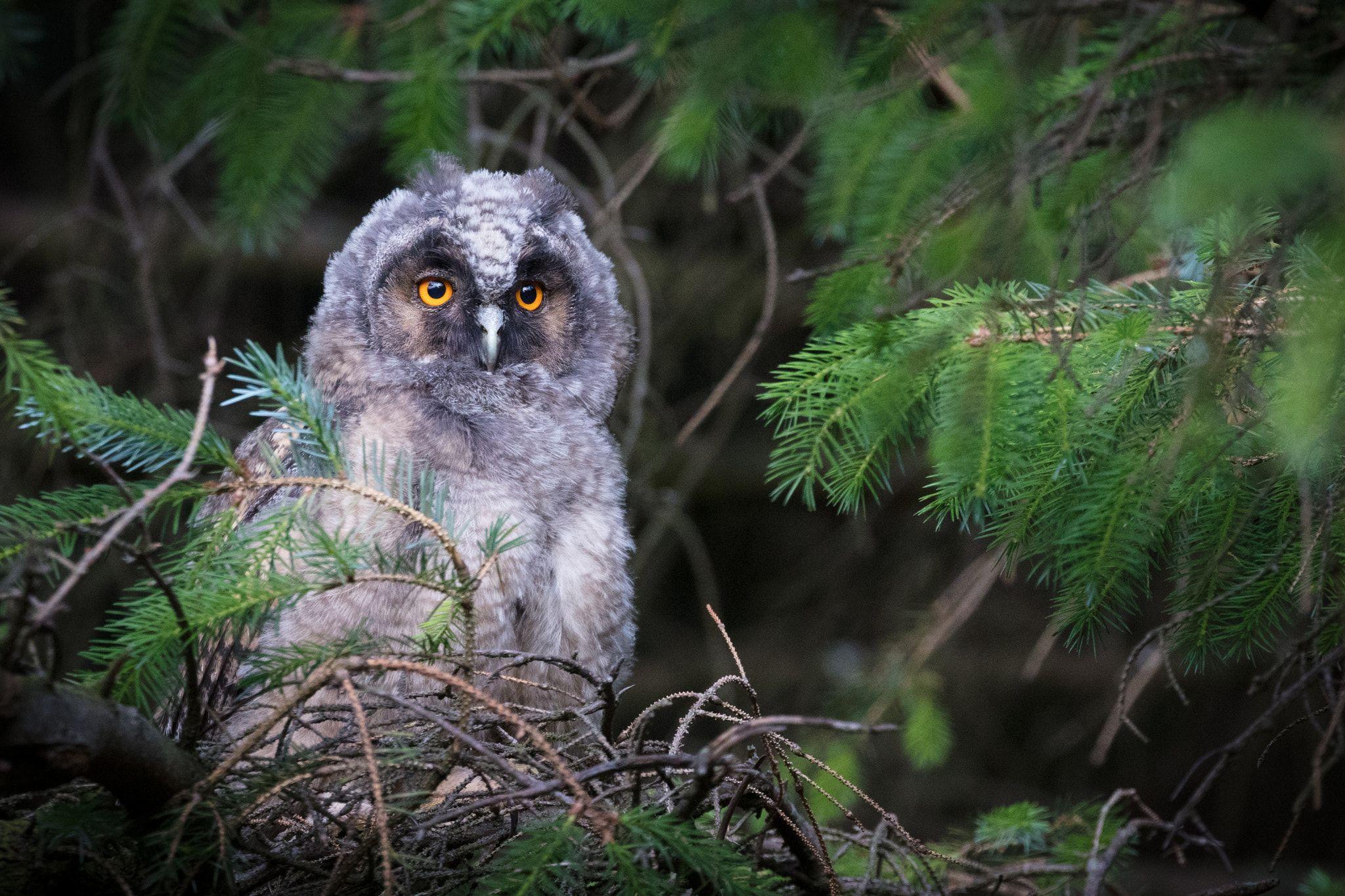 Long Eared Owlet By Dan Rooke