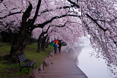 A Walk In The Clouds Beautiful Tree Japanese Cherry Tree Landscape
