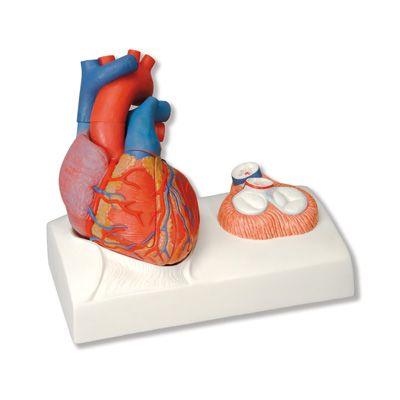 Pin de Kat-Queen-of-Hearts en Anatomical Heart | Pinterest | Modelo ...