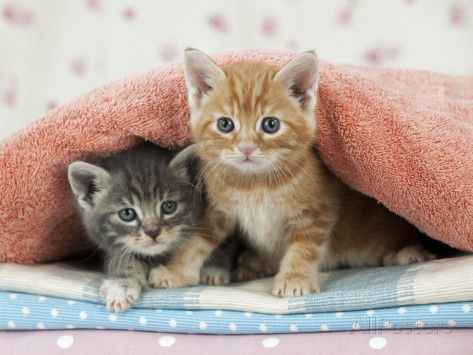 Ginger And Grey Tabby Kittens Photographic Print Allposters Com In 2020 Grey Tabby Kittens Tabby Kitten Tabby Cat