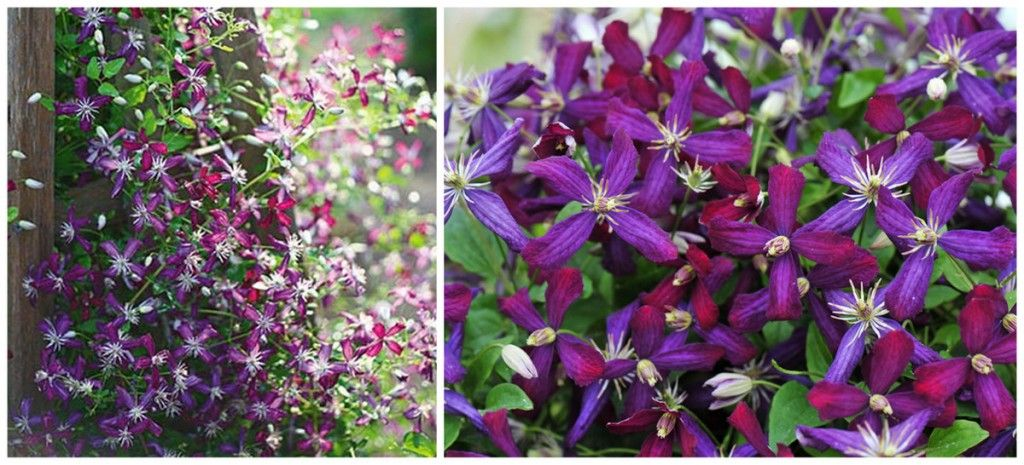 fragrant clematis flowers 2000  'cranberry love'