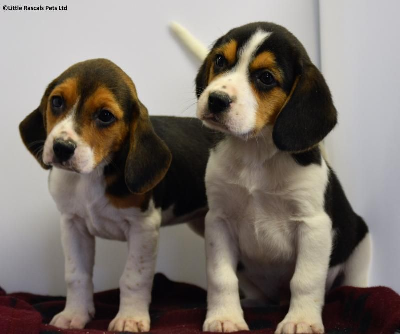 Chunky Beagle Babies Pedigree Puppies For Sale Puppies