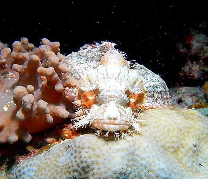 Scorpionfish. They can change their color to fit the background, be careful watch you touch! They're beautiful but can give you a nasty sting. ~My Maldives